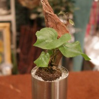 INDOORGREEN LESSON VOL.1  亀甲竜を植えよう。
