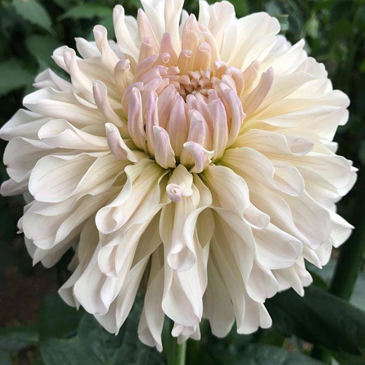 #lotusgarden #daria #美しい #デザイン