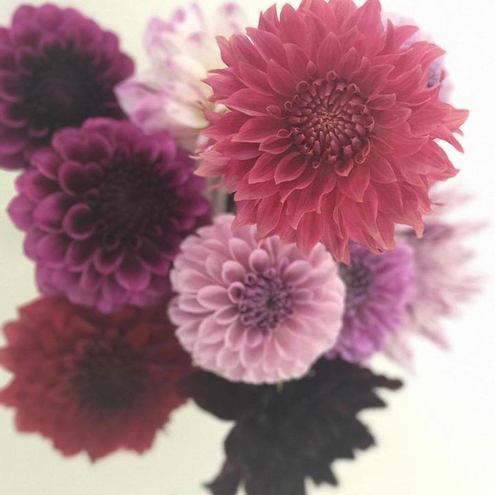 #ダリア #lotusgarden #hidekihatakakeyama #florist #秋田国際ダリア園