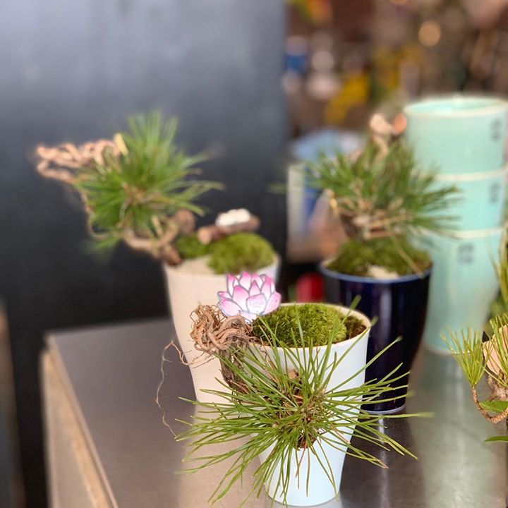 #お正月#根上り福黒松の和BONSAI作りました#bonsai #BONSAI#盆栽