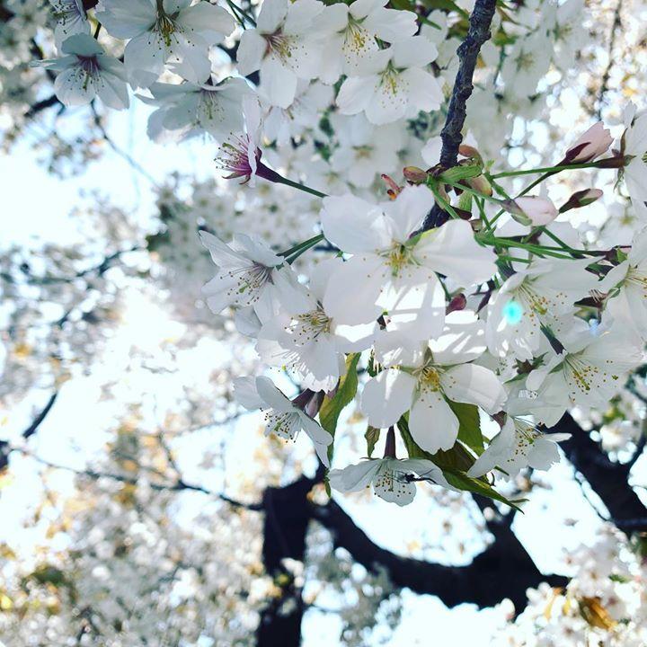 桜たっぷり楽しみました。