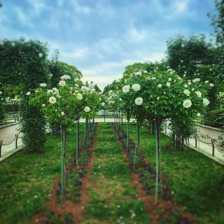 #山下公園 #Yokohama #flowerinstagram #お花 #flowerart  #rose