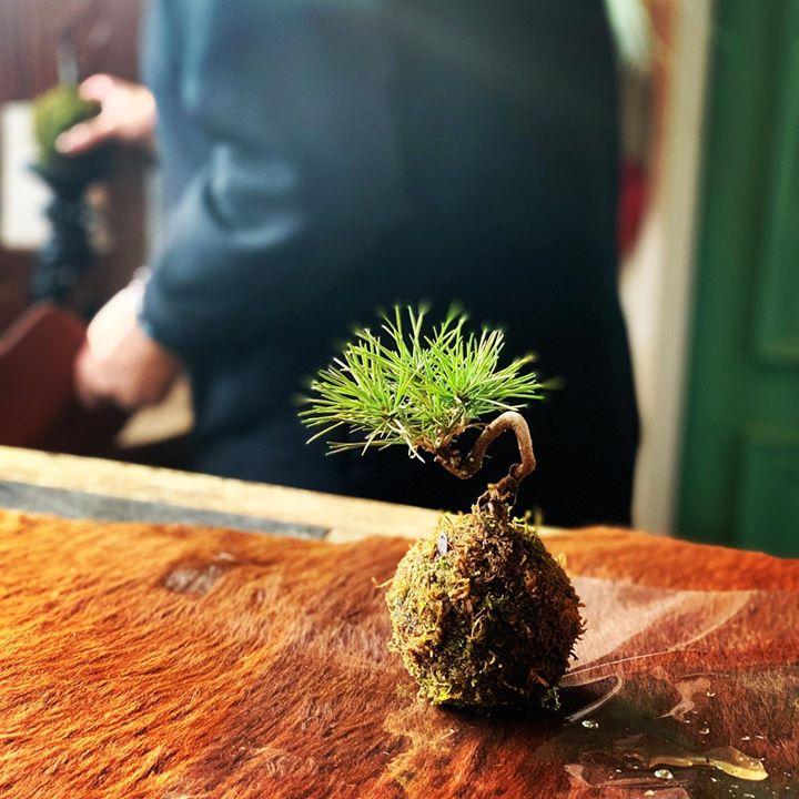 黒松の苔玉 #lotusgarden #苔玉 #苔玉レッスン #yamagata  #florist