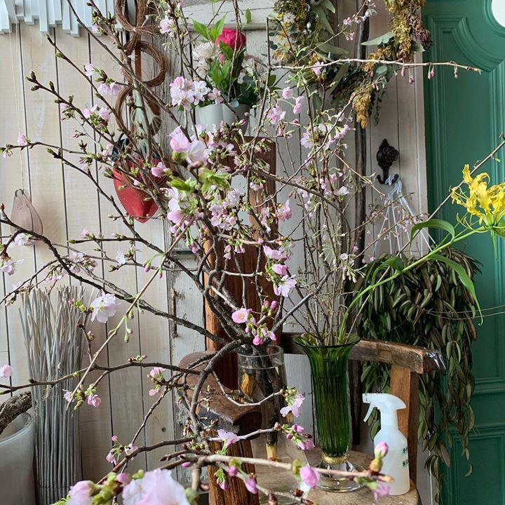 #おうちで花見 #lotusgarden #八重桜 #おはなのあるくらし